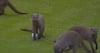 Dyr angriber golfbold og ødelægger slaget - se den skøre situation lige her