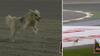 GENIAL humor: Hund løber på banen - så bryder stjerne ind med klassekommentar