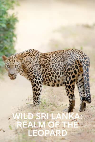 srilankas-savvala-leoparda-karaliste-2019