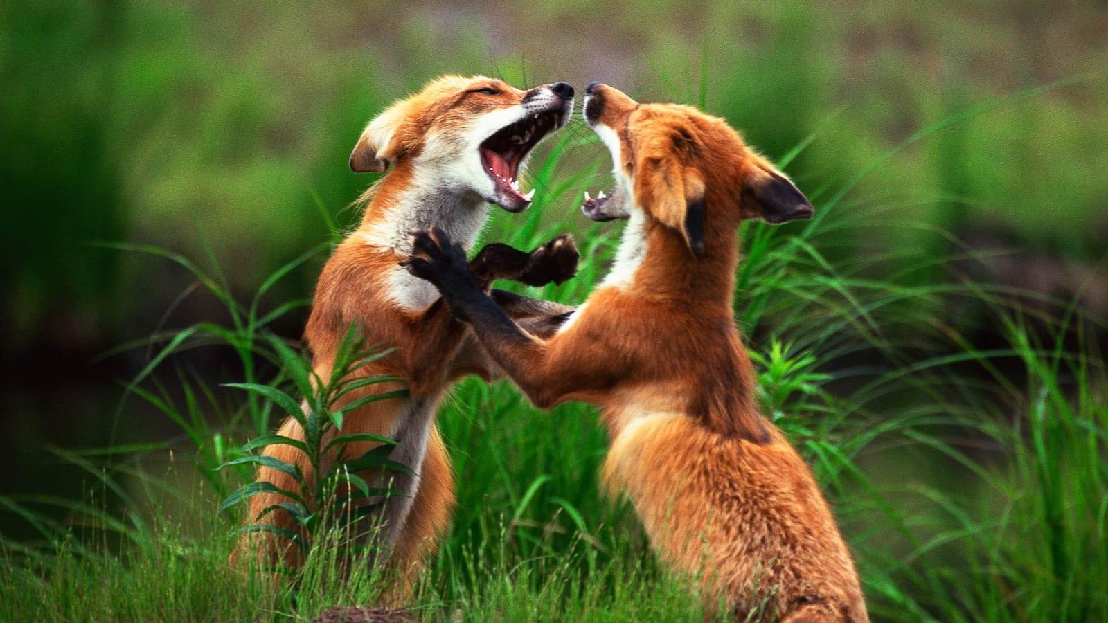 animal-fight-club
