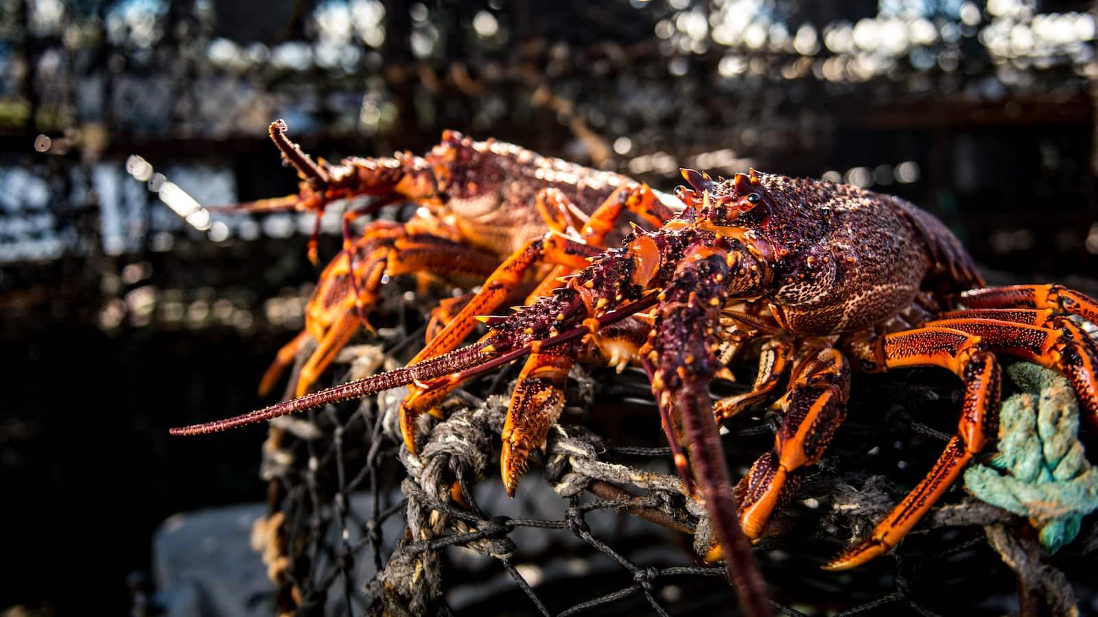 austraalia-homaarikutid