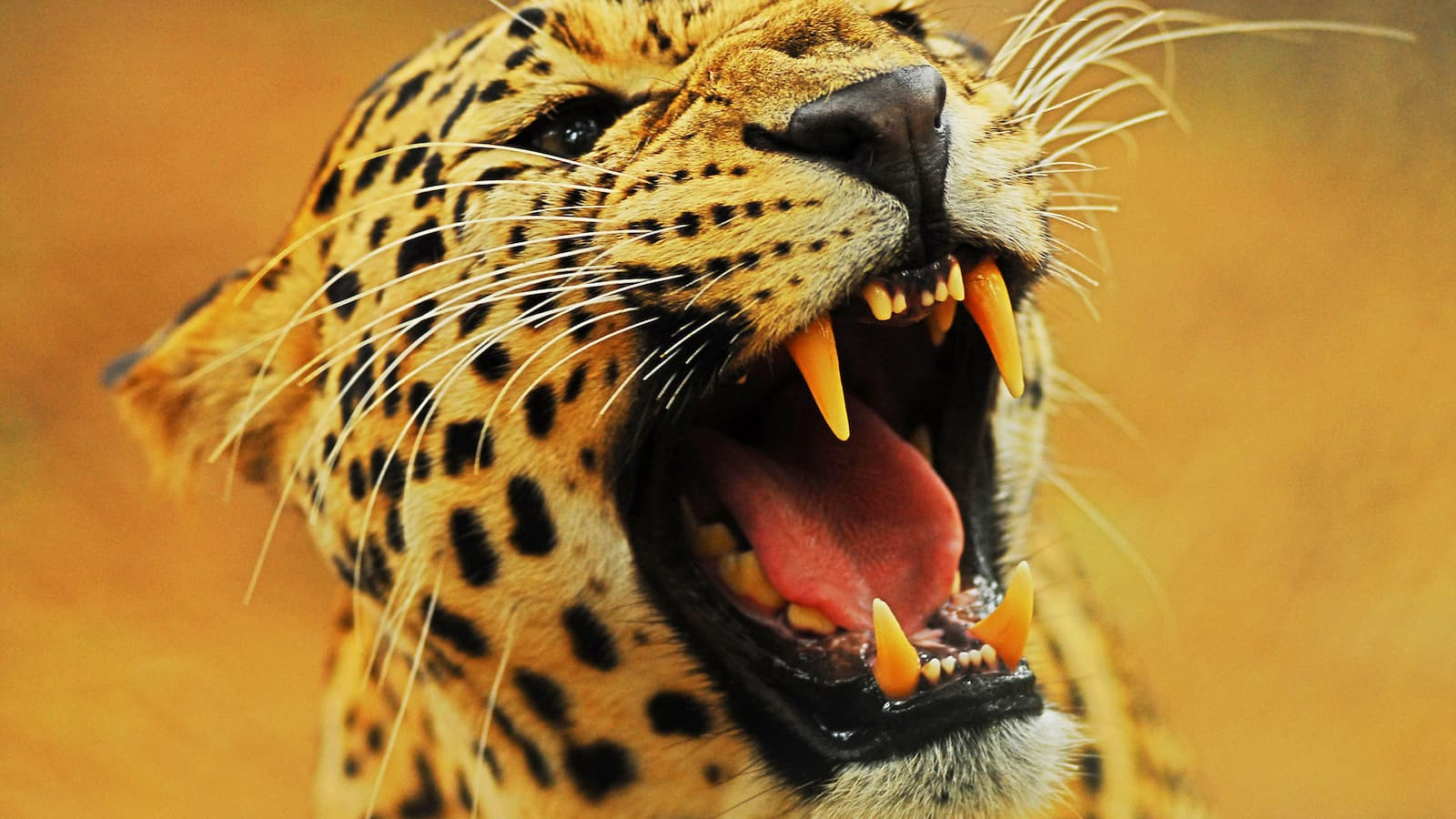 attack-of-the-big-cats-2012